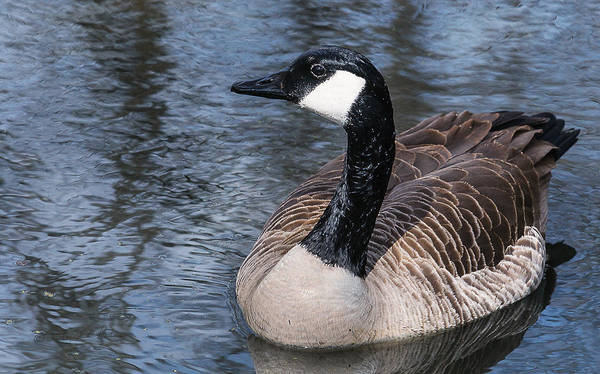 Photograph - Canada Goose Swiming by Edward Peterson