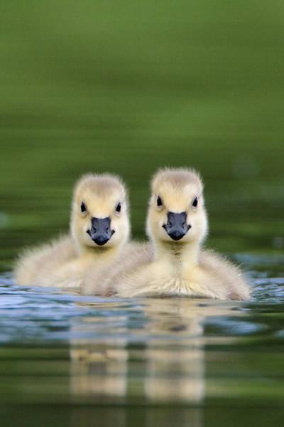 Gosling Photograph - Canada Goslings by Paul Burwell