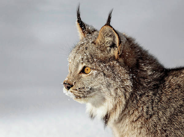 Photograph - Canada Lynx Up Close by Wes and Dotty Weber