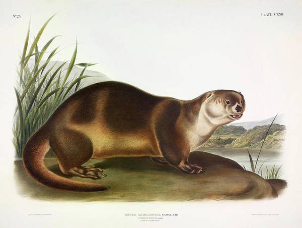 Weasel Wall Art - Painting - Canada Otter by John James Audubon