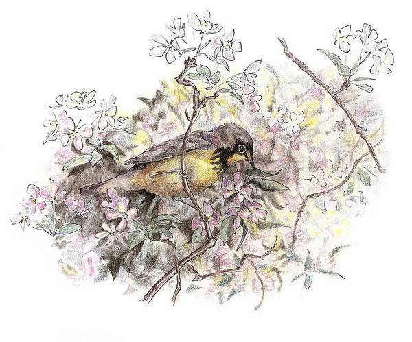 Drawing - Canada Warbler by Abby McBride