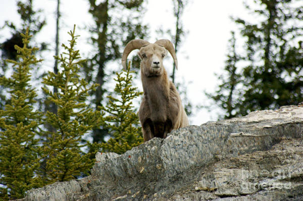 Photograph - Canadian Bighorn Sheep by David Birchall