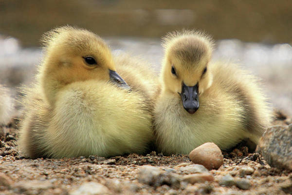 Photograph - Canadian Chicks by Pierre Leclerc Photography