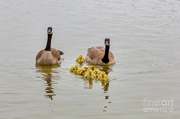 Photograph - Canadian Geese And Goslings by David Millenheft