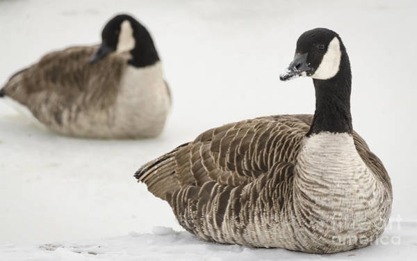 Photograph - Canadian Geese by Andrea Silies