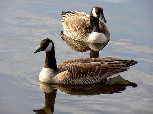 Photograph - Canadian Geese by Anthony Dezenzio