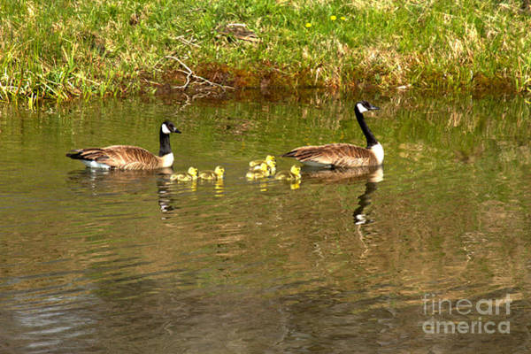 Photograph - Canadian Geese At Schwabacher Landing by Adam Jewell