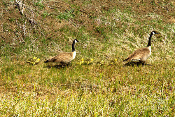 Photograph - Canadian Geese Family Stroll by Adam Jewell