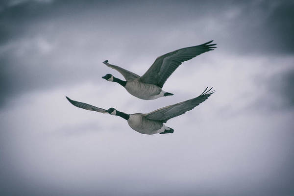 Photograph - Canadian Geese In Flight by Jason Coward