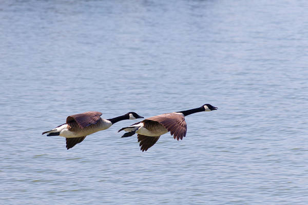 Photograph - Canadian Geese In Flight by SR Green