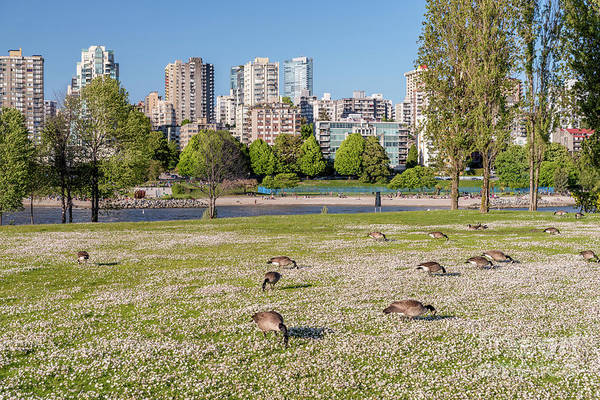 Wall Art - Photograph - Canadian Geese In The City Park. Vancouver, Canada  by Viktor Birkus