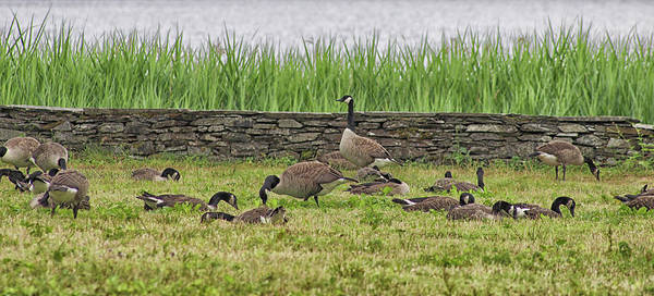 Canadian Fauna Photograph - Canadian Geese by Martin Newman