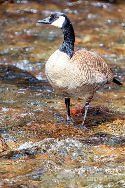 Photograph - Canadian Goose 01 by David Millenheft