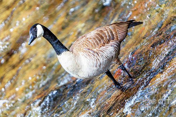 Photograph - Canadian Goose 02 by David Millenheft