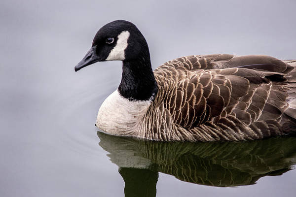 Photograph - Canadian Goose At Rio by Don Johnson