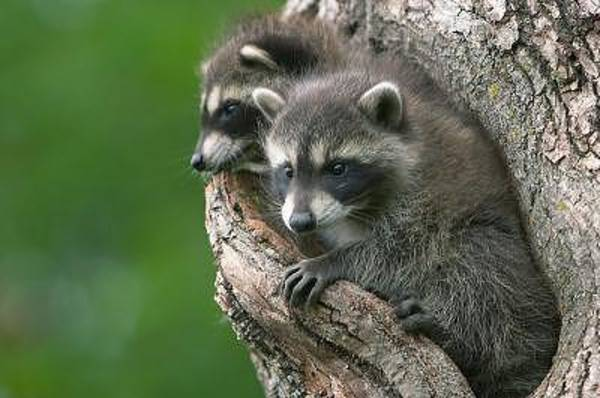 Willett Photograph - Canadian Raccoons by Cristy Simmons - Willett