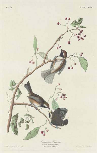 Titmouse Drawing - Canadian Titmouse by Dreyer Wildlife Print Collections