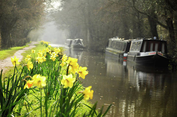 Photograph - Canalside Daffodils by Geoff Smith