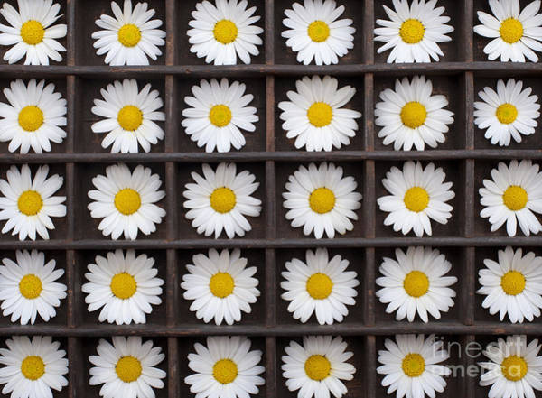 Asteraceae Photograph - Canary Marguerite Flowers by Tim Gainey