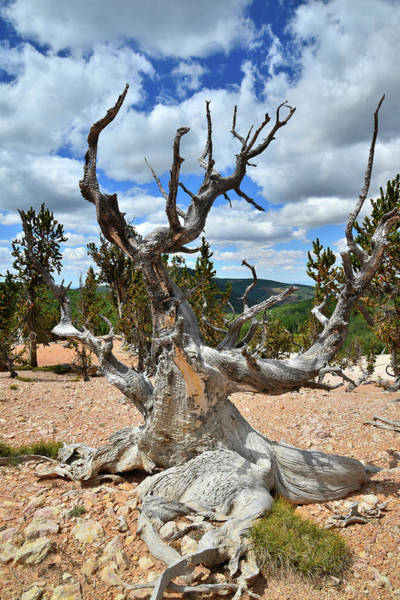 Photograph - Candlelabra Bristlecone by Ray Mathis