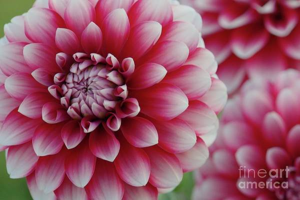 Photograph - Candy Cane Dahlias by Patricia Strand