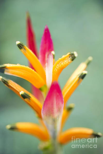 Photograph - Candy Colours - Heliconia Tropical Flower by Sharon Mau