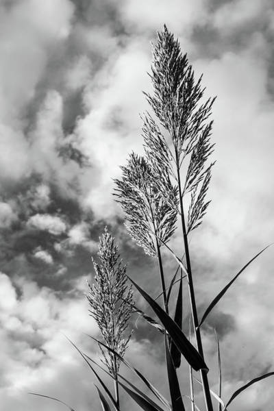 Photograph - Cane Stalks And Clouds Vertical Monochrome by SR Green