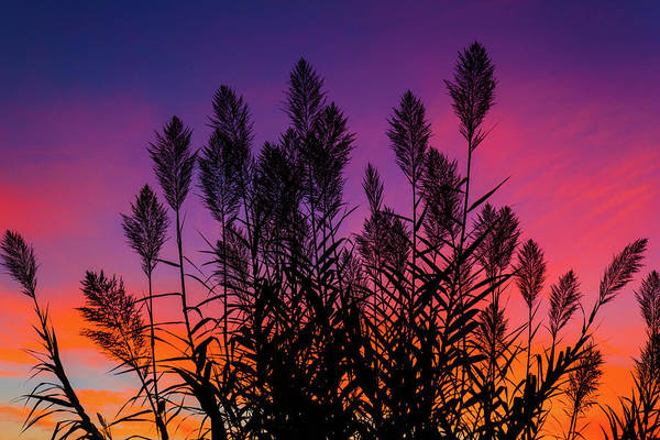 Photograph - Cane Stalks At Sunrise by SR Green
