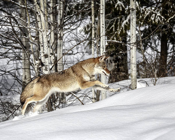 Photograph - Canine Hunter by Wes and Dotty Weber