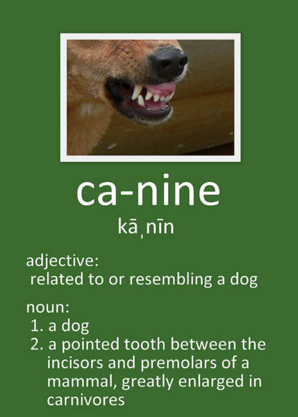 Photograph - Canine Poster by Kathy K McClellan