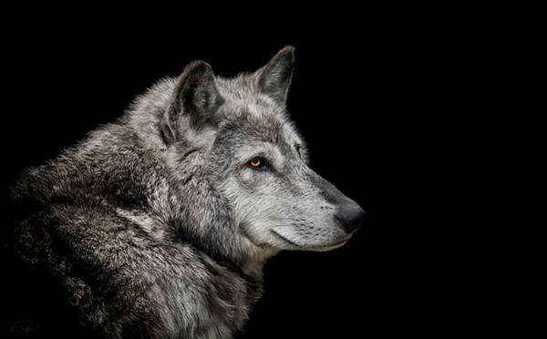 Wall Art - Photograph - Canis Lupus by Paul Neville