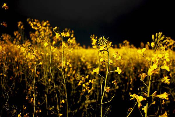 Photograph - Canola  by David Matthews