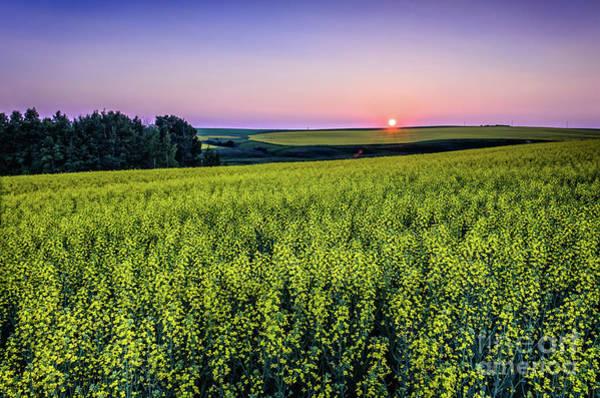 Evening Wall Art - Photograph - Canola Field At Sunset by Viktor Birkus