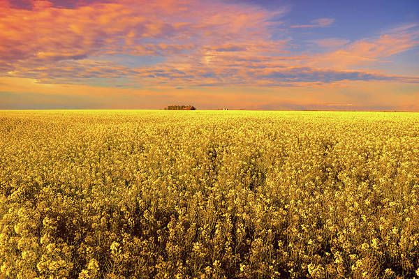Wall Art - Photograph - Canola Field Sunset Landscape Photography by Ann Powell