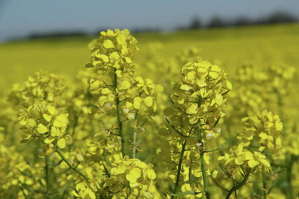 Photograph - Canola In Spring by Marie Leslie