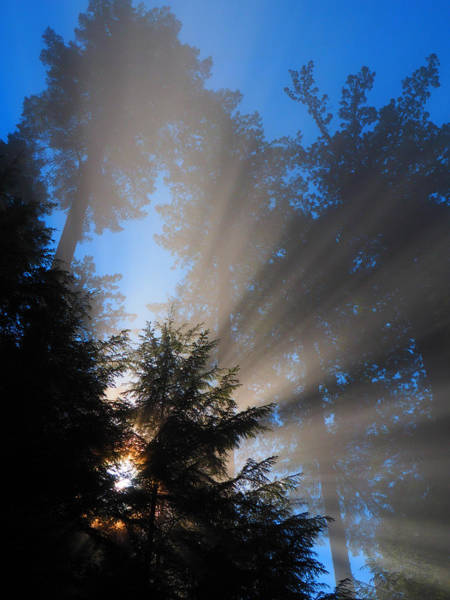 Redwoods Photograph - Canopy Light by Ryan Scholl