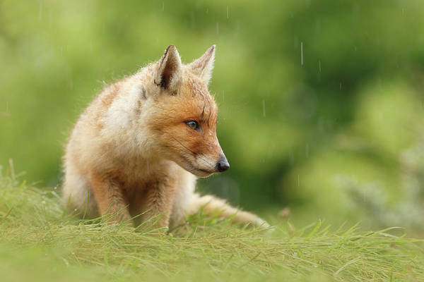 Wall Art - Photograph - Can't Stand The Rain - Little Fox Kit by Roeselien Raimond