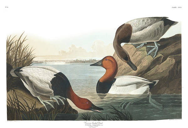 Wing Back Wall Art - Painting - Canvas Back Duck by John James Audubon