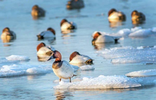 Photograph - Canvasback Duck Standing On Ice In The Chesapeake Bay by Patrick Wolf