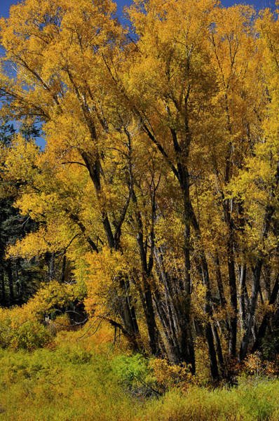 Photograph - Canyon Cottonwoods by Ron Cline