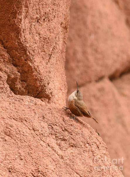Photograph - Canyon Wren 2 by Charles Owens