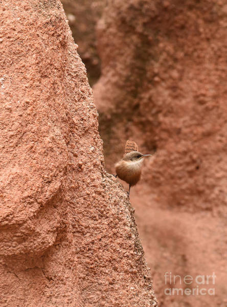 Photograph - Canyon Wren by Charles Owens