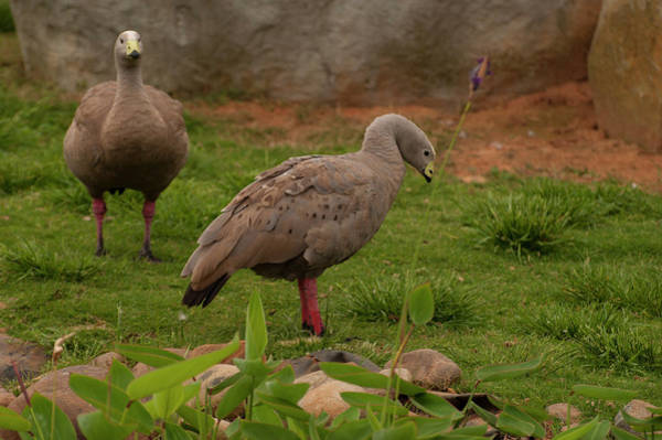 Photograph - Cape Barren Geese Facing Right by Chris Flees
