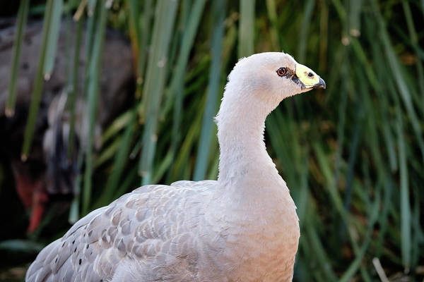 Photograph - Cape Barren Goose by Nicholas Blackwell