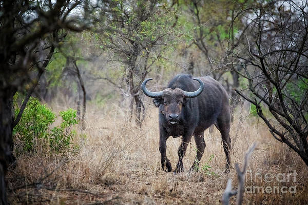 Syncerus Caffer Photograph - Cape Buffalo by Jane Rix