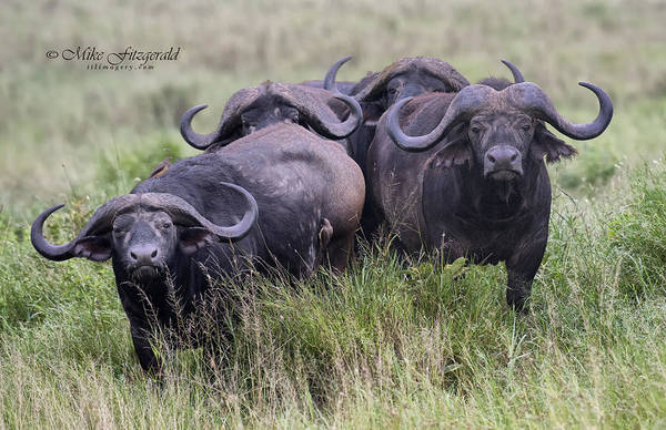 Photograph - Cape Buffalo by Mike Fitzgerald