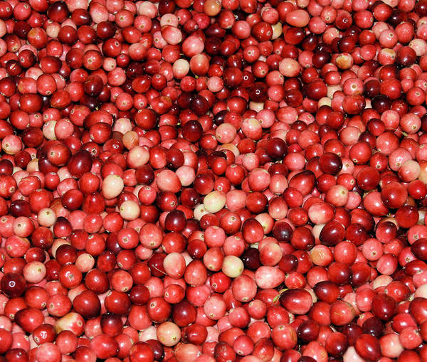 Cape Cod Cranberries Art Print