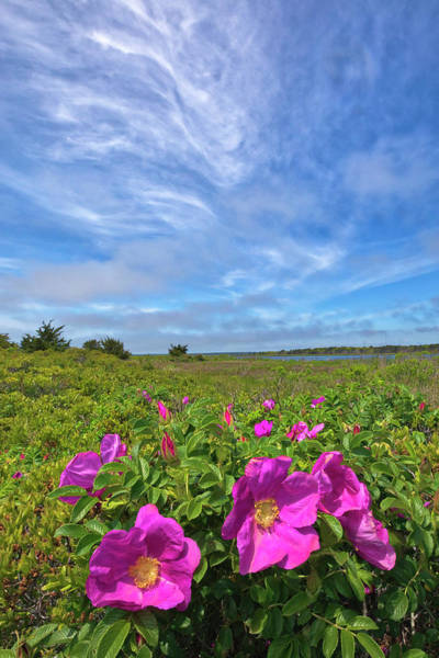 Photograph - Cape Cod Wild Roses At The Mashpee National Wildlife Refuge by Juergen Roth