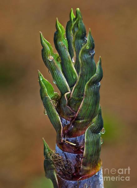 Bamboo Shoots Photograph - Cape May Bamboo by Robert Pilkington