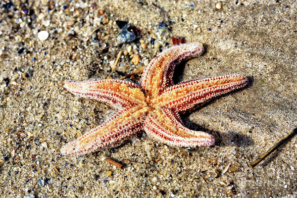 Down The Shore Photograph - Cape May Starfish by John Rizzuto